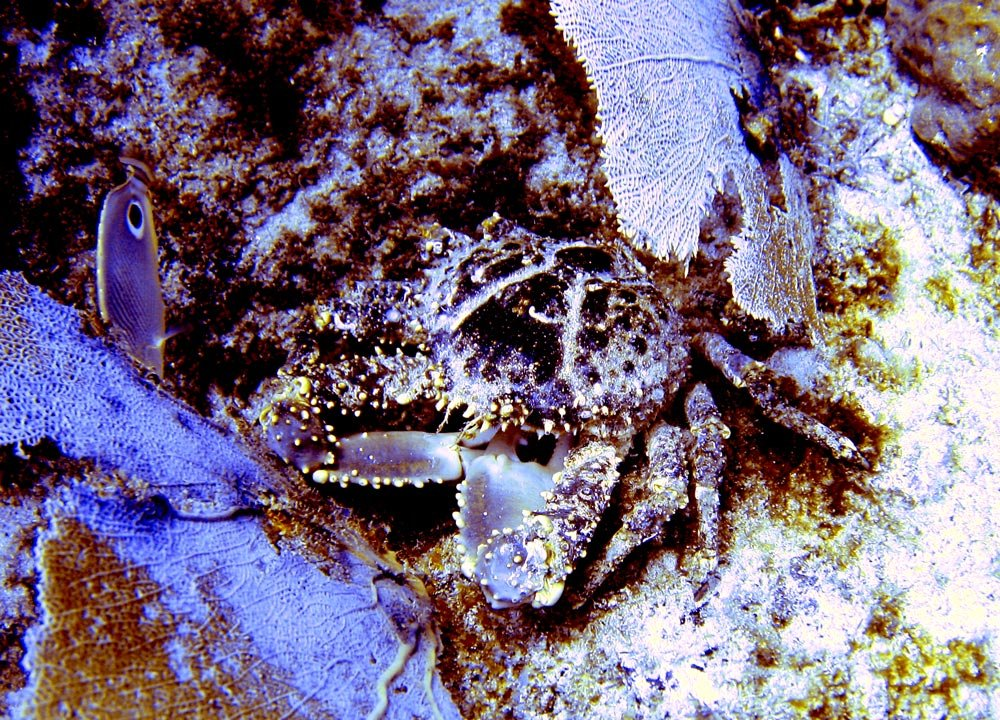 I attempted to adjust the colour of this crab - maybe I just didn't have the white balance right..