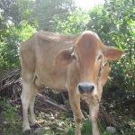 Antigua Cows