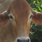 Antigua Cow