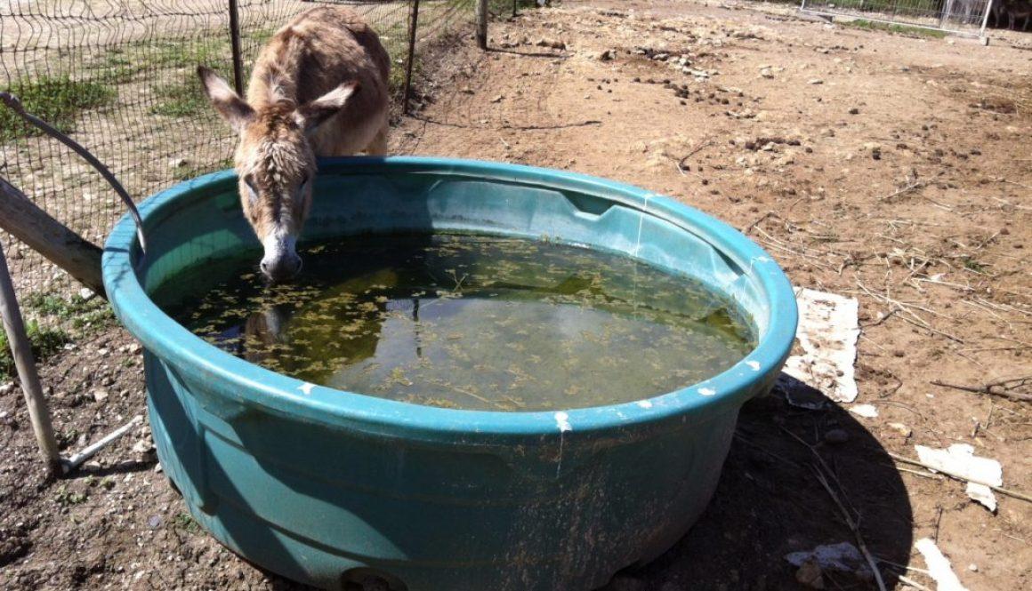Drinking Donkey